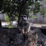 selective-focus-photography-of-meercat-sitting-on-rock